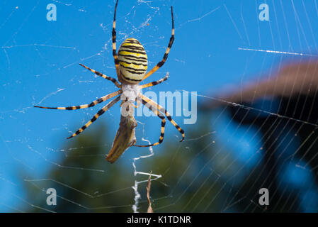 Colorful black and yellow wasp spider Argiope bruennichi eating a prey (grasshopper) on the web. Dorsal side view. - Stock Photo
