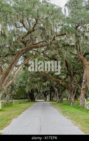 Small country lane or road lined with towering live oak trees in rural Sumpter County, Florida, USA. - Stock Photo