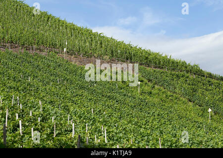 vineyard, Bremm, Moselle, Rhineland-Palatinate, Germany