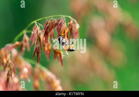 Macro shot of black yellow bee sucking sweet nectar from ( melinis repens ) pink flowers - Stock Photo