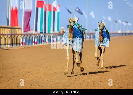 Camels with robot jokeys at racing practice near Dubai, UAE - Stock Photo