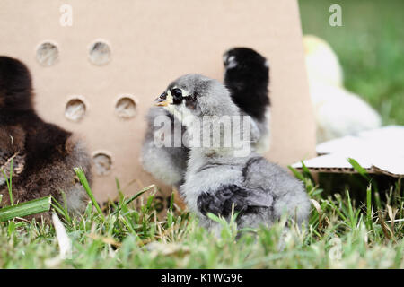Mail ordered baby Blue Cochin chick beside a packing box. Extreme depth of field with selective focus on the little - Stock Photo