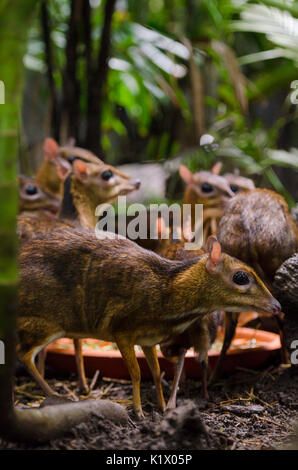 Lesser mouse-deer in the Fragile Forest enclosure at Singapore Zoo, Singapore - Stock Photo