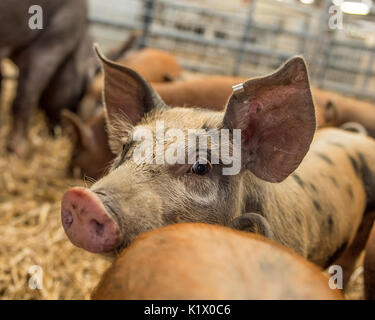 pigs at market - Stock Photo