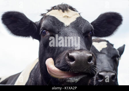 A close up of a black and white dairy cow sticking its tongue out - Stock Photo