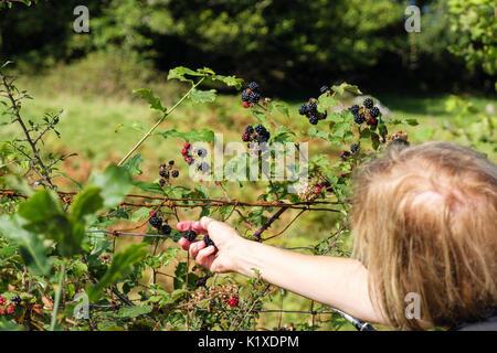 Walker picking Blackberries from a roadside hedgerow on a country walk. Waunfawr, Gwynedd, Wales, UK, Britain - Stock Photo