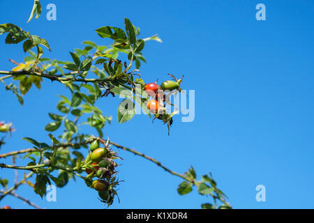 Rose Hips fruits of wild Dog Rose (Rosa canina) growing against a blue sky in late summer. Wales, UK, Britain - Stock Photo