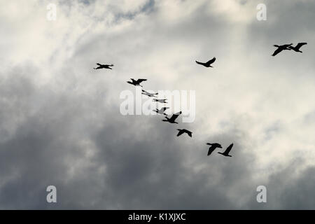 Cormorants Phalacrocorax carbo group silhouette flying high up in a V formation against the cloudy sky. Birds migration - Stock Photo