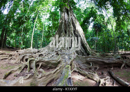 Buttress Roots of Giant Strangler Fig Tree, Ficus sp., Christmas Island, Australia - Stock Photo