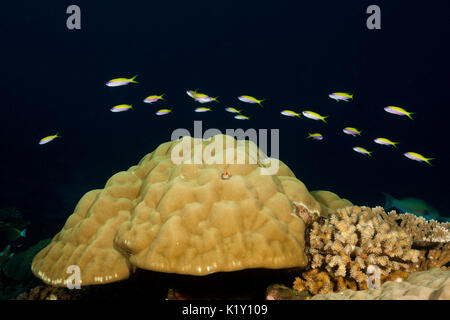 Yellowback Anthias over Coral Reef, Pseudanthias evansi, Christmas Island, Australia - Stock Photo
