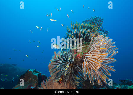 Feather Star in Coral Reef, Comantheria sp., Christmas Island, Australia - Stock Photo
