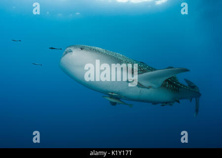 Whale Shark, Rhincodon typus, Christmas Island, Australia - Stock Photo