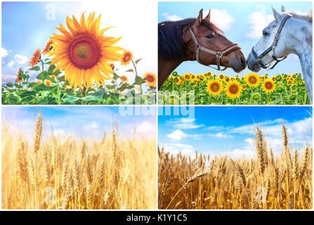 Wheat field. Ears of golden wheat close up. Beautiful Nature Sunset Landscape. Rural Scenery under Shining Sunlight. - Stock Photo