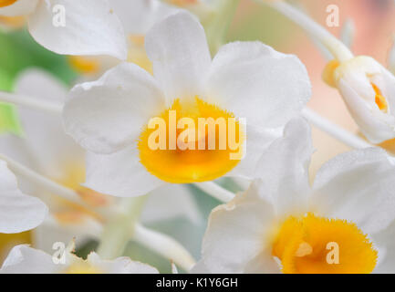 Dendrobium thyrsiflorum Orchid From China, Thailand, Myanmar and Vietnam, India, Laos Stock Photo
