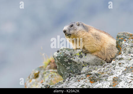 Alpine Marmot (Marmota marmota) on rocks, National Park Hohe Tauern, Carinthia, Austria - Stock Photo