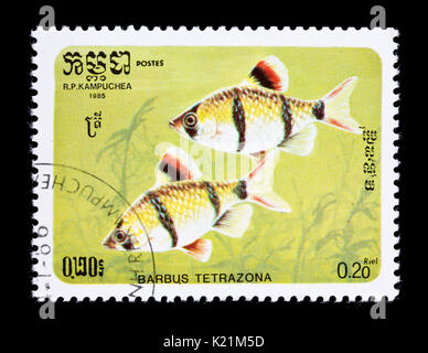 Postage stamp from Cambodia (Kmpuchea) depicting a tiger barb or Sumatra barb (Puntigrus tetrazona) - Stock Photo