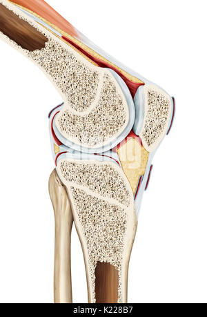 The synovial joint of the knee links the femur to the tibia, the fibula, and the patella. As a result, the knee - Stock Photo