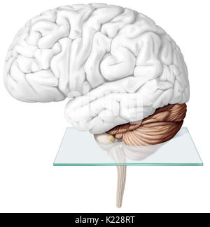 The cerebellum is the part of the brain located under the cerebrum, behind the brainstem. It ensures motor coordination - Stock Photo