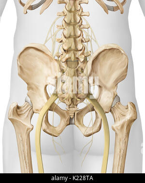 This image shows nerves of the lower body. - Stock Photo