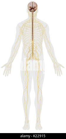 The nervous system is made up of two distinct entities with defined roles: the central nervous system (brain and - Stock Photo
