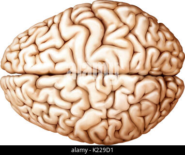 The cerebrum is the most voluminous and most complex part of the brain. It is made up of two hemispheres subdivided - Stock Photo