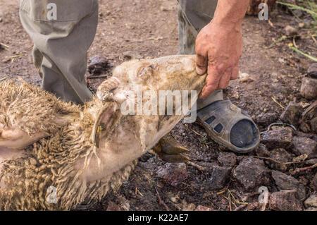 Muslim butcher man cutting a sheep for Eid Al-Adha. Eid al-Adha (Sacrifice Feast) is the second of two Muslim holidays - Stock Photo