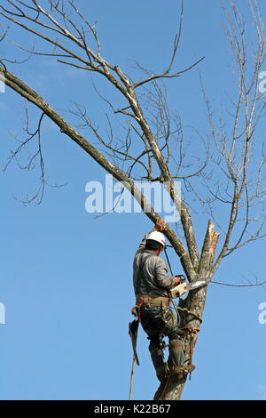 TREE CUTTER AT WORK IN MAPLE TREE, RANCHO CORDOVA, CALIFORNIA - Stock Photo