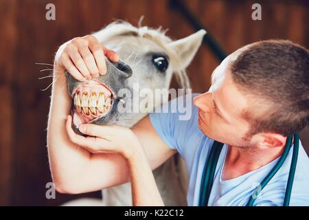 Veterinary medicine at farm. Veterinarian examining teeth of the horse in the stable. - Stock Photo