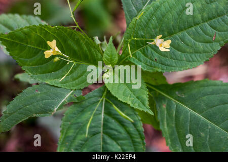 Small balsam /  small-flowered touch-me-not (Impatiens parviflora) in flower