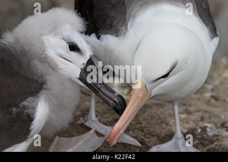 Immature Black-browed albatross being fed by adult Diomedea melanophrys West Point Island Falklands Malvinas - Stock Photo