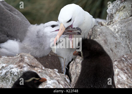 Immature Black-browed albatross being fed by adult Diomedea melanophrys West Point Island Falklands Malvinasmelanophrys - Stock Photo