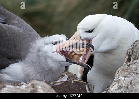 Immature Black-browed albatross being fed squid by adult Diomedea melanophrys West Point Island Falklands Malvinas - Stock Photo
