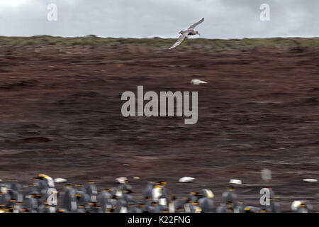 Giant Southern Petrel Macronectes giganteus flying over King Penguin Aptenodytes patagonicus Volunteer Point East - Stock Photo