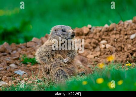 Gaver,Bagolino,Lombardy,Italy Portrait of a marmot sitting tripped in the plain of Gaver - Stock Photo