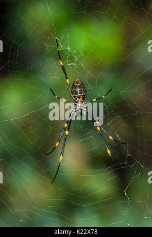 Nephila pilipes (northern golden orb weaver or giant golden orb weaver is a species of golden orb-web spider. Seen - Stock Photo