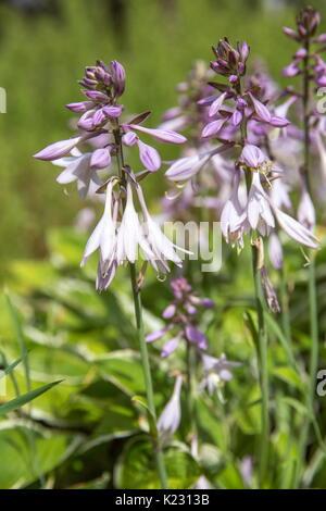 Violet flowers of blooming hosta Hosta undulata  - Stock Photo