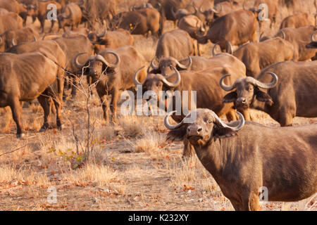 A herd of buffaloes in Kruger National Park in South Africa in early morning sunlight. - Stock Photo
