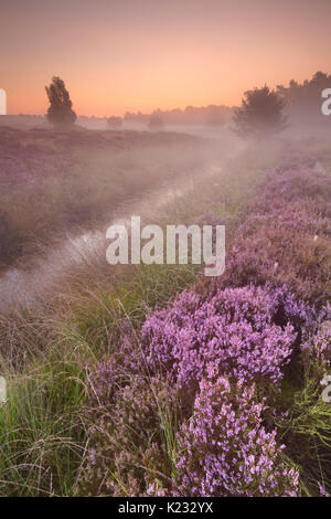 Blooming heather on a foggy morning at sunrise, photographed in The Netherlands. - Stock Photo