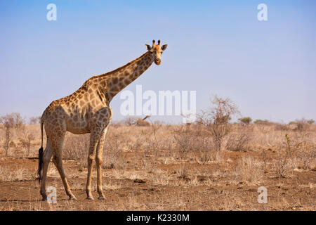 A giraffe in Kruger National Park in South Africa. - Stock Photo
