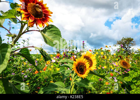 Tall sunflowers on sunny colorful flower meadow - Stock Photo
