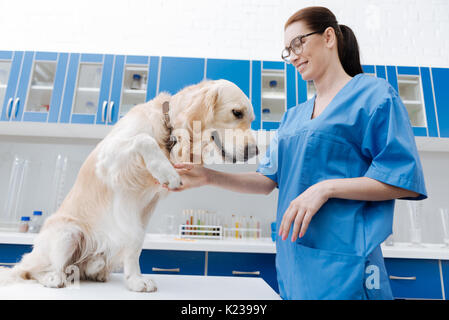 Attentive Labrador giving his paw to doctor - Stock Photo