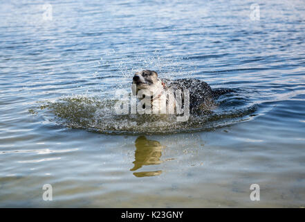 Berlin, Germany. 28th Aug, 2017. A dog enjoys a refreshment in the Wannsee lake in Berlin, Germany, 28 August 2017. - Stock Photo