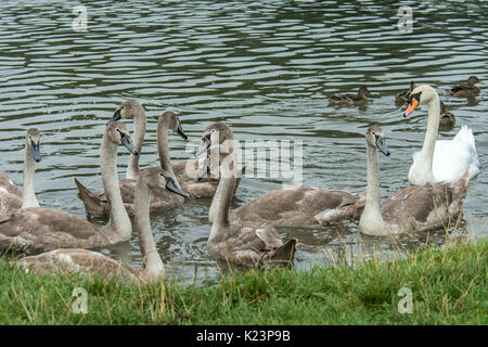 Melton Mowbray, UK. 29th Aug, 2017. UK Weather. Grey clouds light cool wind for young cygnets first flight. Unfortunately, - Stock Photo