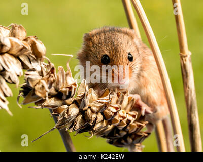 Harvest Mouse On Ears Of Wheat - Stock Photo