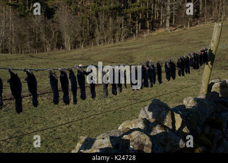 mole carcasses strung along a barbed wire fence at the edge of a farmers field demonstrating the mole catchers skill - Stock Photo