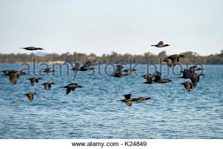 A flock of Little Black Cormorants(Phalacrocorax sulcirostris), flying  low above the water of the Clarence River; - Stock Photo