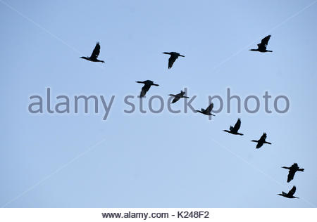 A flock of Little Black Cormorants(Phalacrocorax sulcirostris), flying in V-formation, with a blue sky background; - Stock Photo