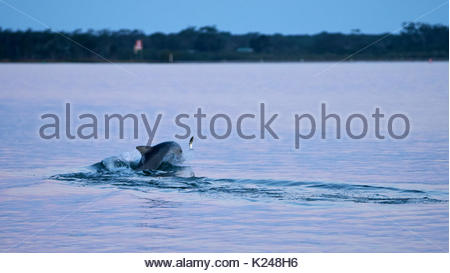 A mullet throws itself into the air at dusk, trying to evade the dolphin which pursues it; in the Clarence River - Stock Photo