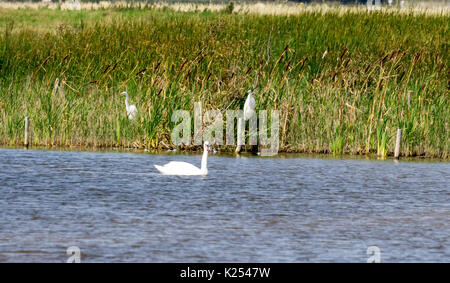 two great white egrets perched in the reeds  with a mute swan in front - Stock Photo