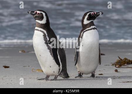 Magellanic penguin (Spheniscus magellanicus) Sealion Island Falklands Malvinas - Stock Photo